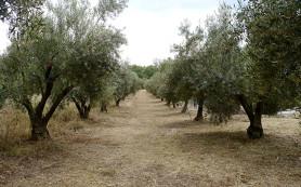 В Италии начался кризис оливкового масла