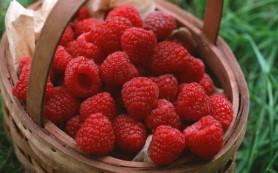 Немного о сортах и сборе ягод малины