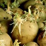 Как увеличить посадочный материал и урожайность картофеля