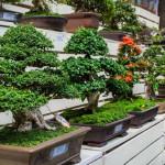 Что такое Бонсай и как его выращивать