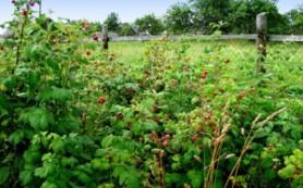 Предотвращаем разрастание малины