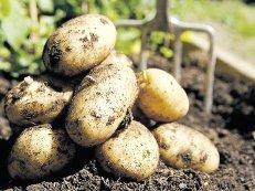 Выбор места и подготовка почвы для посадки картофеля