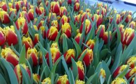 Бизнес на даче – выгонка тюльпанов