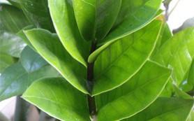 Замиокулькас, или «долларовое дерево»