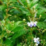 У клеродендрума угандийского оригинальная окраска цветков