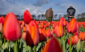 Россельхознадзор задумался о запрете на поставку голландских цветов