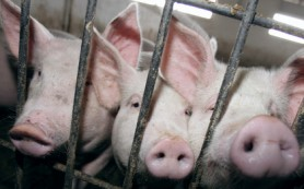 Россельхознадзор подумает о запрете ввоза украинской свинины