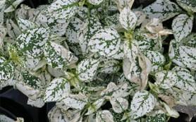 Фиттония белая исключительно теплолюбива