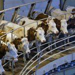 Вьетнамцы инвестируют 2,7 миллиарда в строительство в России молочных ферм