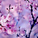Сакура в Японии зацвела раньше обычного