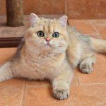 Кошка шиншилла как домашний любимец