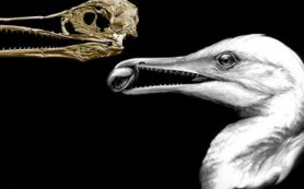Древняя птица Ихтиорнис «кусала, как динозавр, и клевала, как птица»