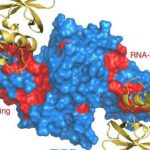 Ученые выяснили, как репарационный белок запускается для восстановления поврежденной ДНК