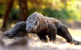 Гигантский ящер в индонезийском парке страдает из-за туристов