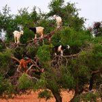 Как туристов обманывают в Марокко и при чем тут козы