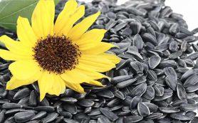 Семена подсолнечника — польза для здоровья