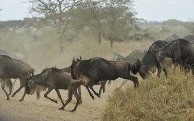 Самое популярное зрелище в Африке началось этим летом раньше времени