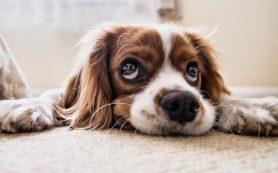 Можно ли доверять собакам, которые определяют наличие коронавируса у людей?