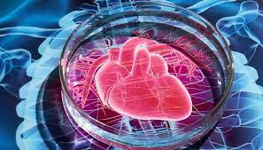 Стволовые клетки восстанавливают сердце