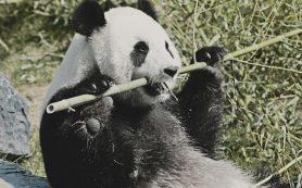 Почему из «Красной книги» Китая исчезли гигантские панды?